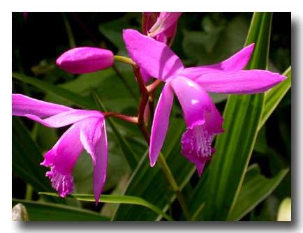L\'orchidée de jardin. | ricercare